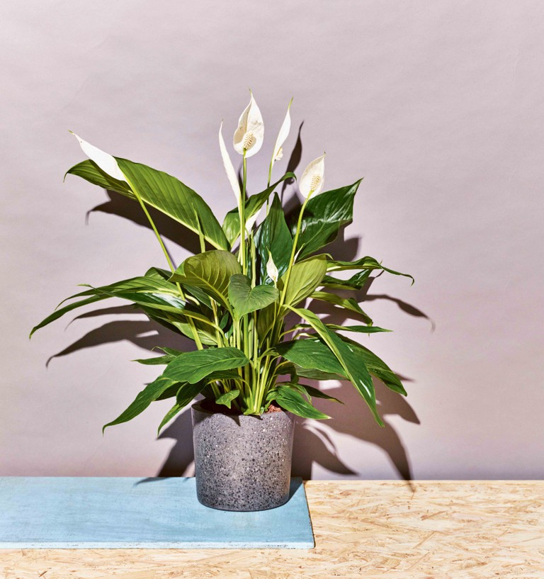 Little Book of House Plants Peace Lily