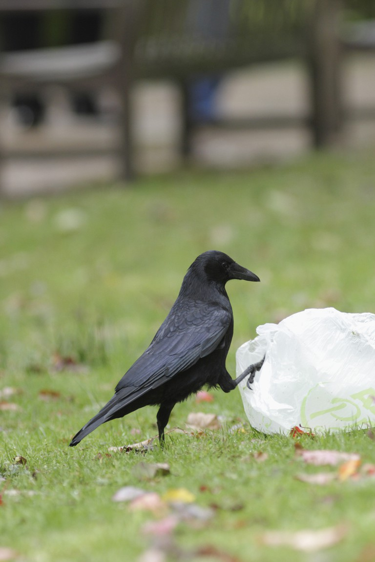 A Carrion crow with litter | © FLPA / REX / Shutterstock