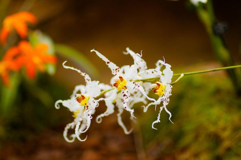 A botanical white with red yellow spots Odontoglossum cirrhosum