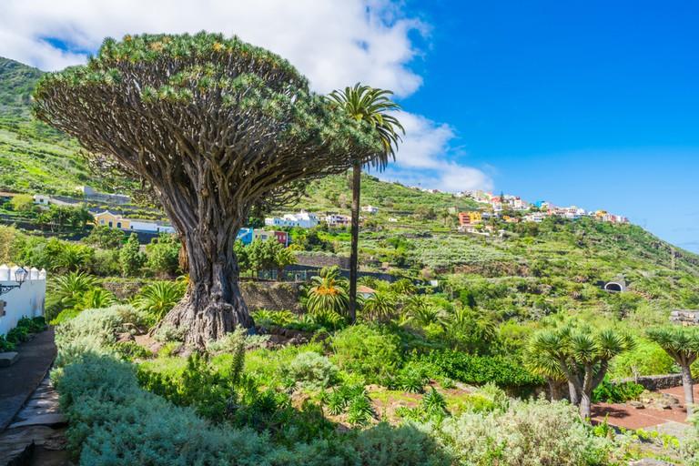 Ancient Dragon Tree (El Drago) in Icod de los vinos, Tenerife.