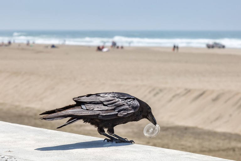 Crows are being trained to collect litter | © Melanie Hobson / Shutterstock