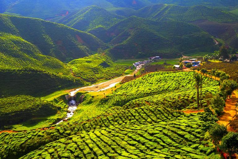 Tea field, Malaysia