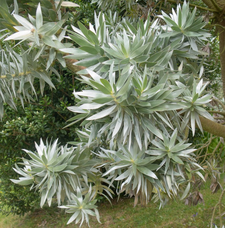 Leucadendron argenteum (Silver Tree) on the Island of Tresco in the Isles of Scilly, England.