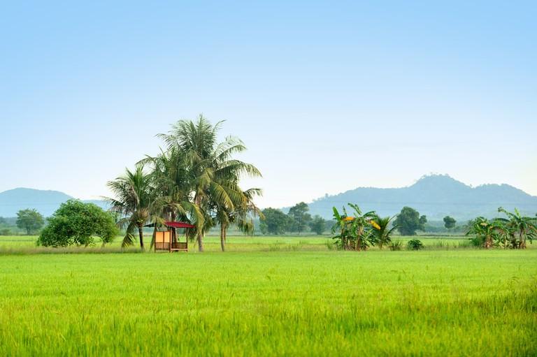 Paddy field in Kedah, Malaysia.