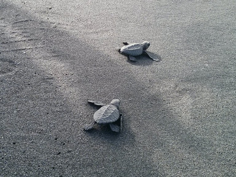 Two baby turtles race towards the sea in Morong, Bataan, Philippines.