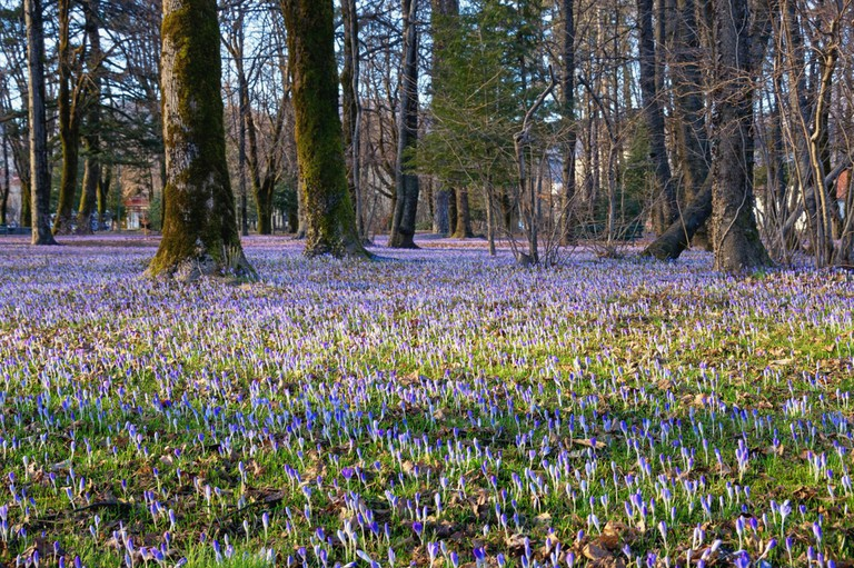 Glades of flowering Crocus Vernus in the park, Cetinje, Montenegro.