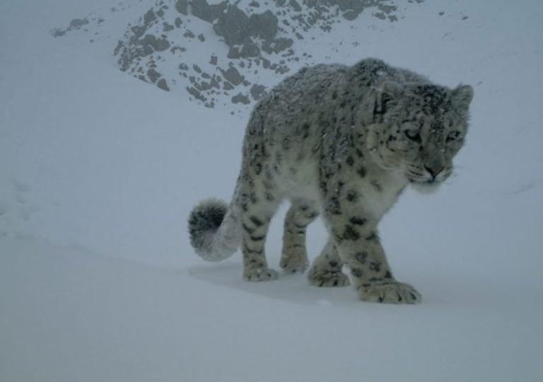 snowleopardsnow-768x576