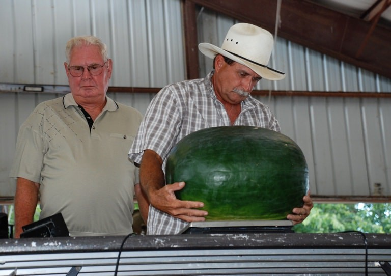 weighing watermelon