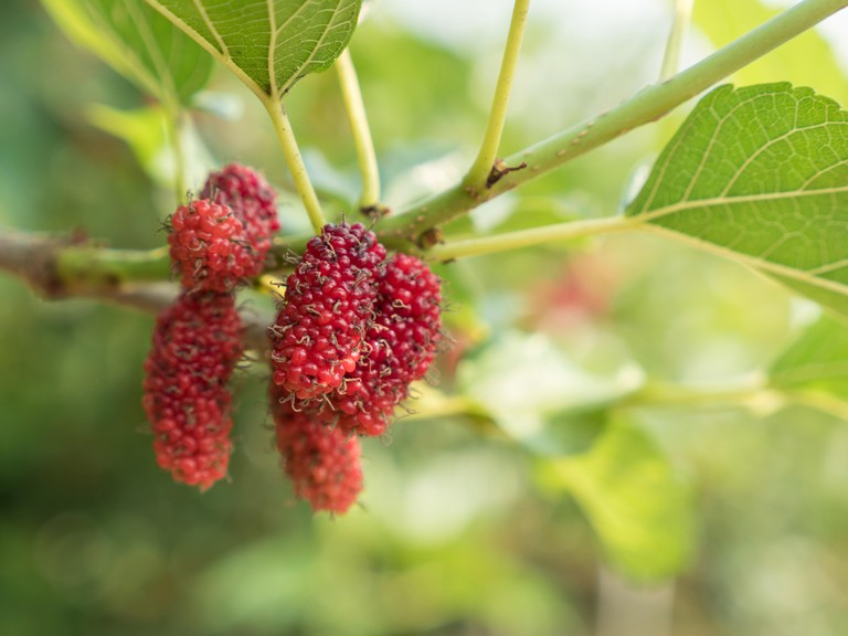 Branch of red mulberry