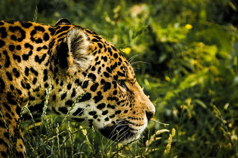 jaguar-1807171_1280