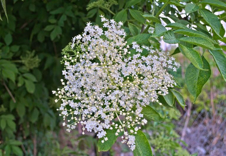 Elder flowers cluster close up