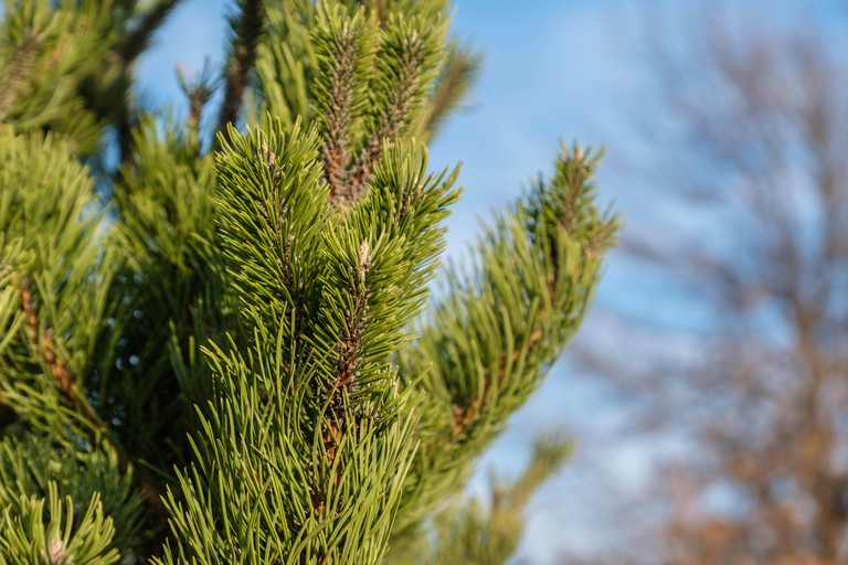 Closeup of branches and needles of scots pine