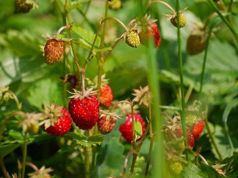 Ripe wild strawberries