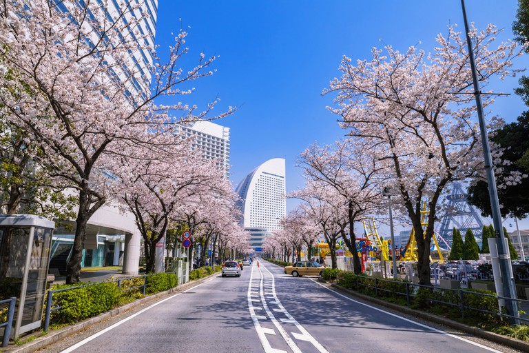 Sakura Street in Japan with cherry blossoms in full bloom.