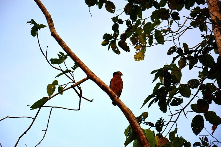 Borneo Eagle