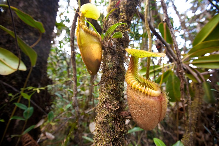 Nepenthes villosa also known as monkey pitcher plant