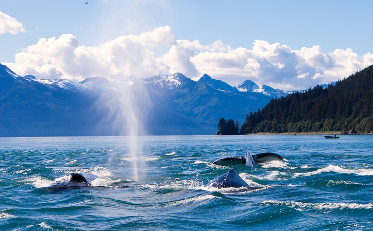 Humpaback Whales Playing in the Ocean in Juneau, Alaska