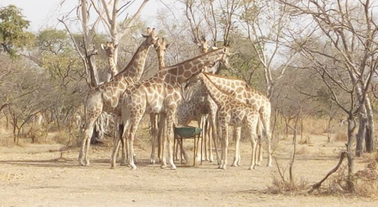Giraffes at the Yankari Game Reserve