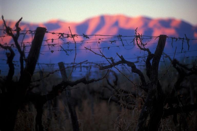 Vineyards in La Rioja in the Region of Cuyo, Argentina