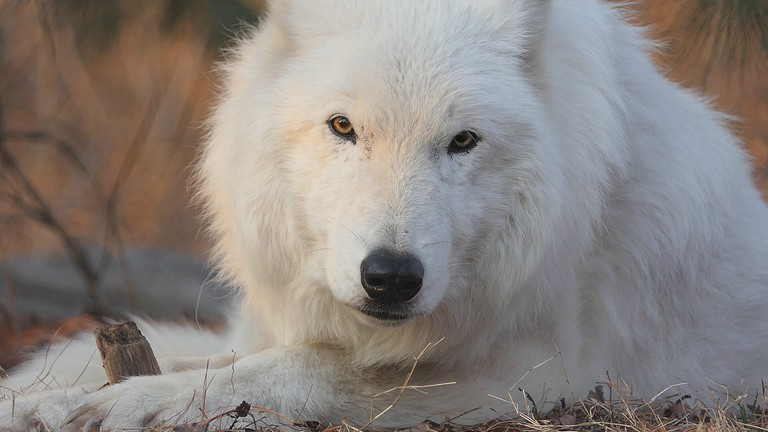 The eldest ambassador wolf, Atka, passed the day after the autumn equinox. A benefit will be held in his honor on December 6, 2018 at the WCC.