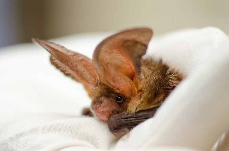 A bat rests while in care