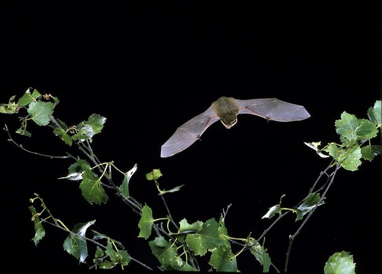 Common pipistrelle bat, pipistrellus pipistrellus