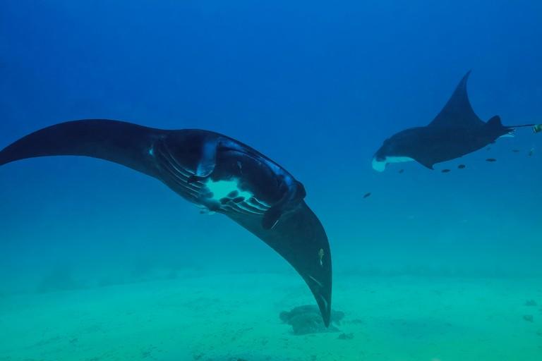 Black Manta Rays (Manta birostris) checking out the divers at Sandy Manta cleaning station in Raja Ampat, Indonesia.