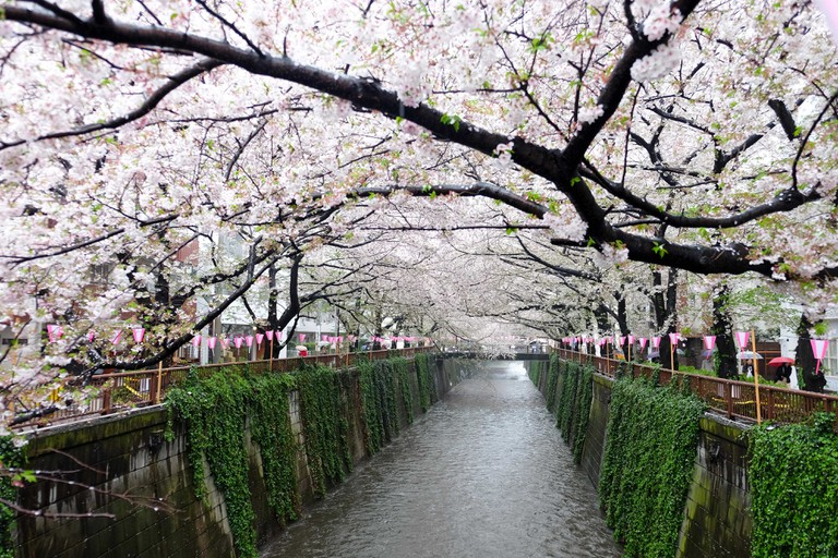 Cherry blossoms at Meguro river in tokyo Japan,The river is a popular venue for cherry blossom viewing in the spring.