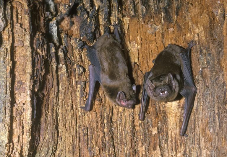Noctules on Tree