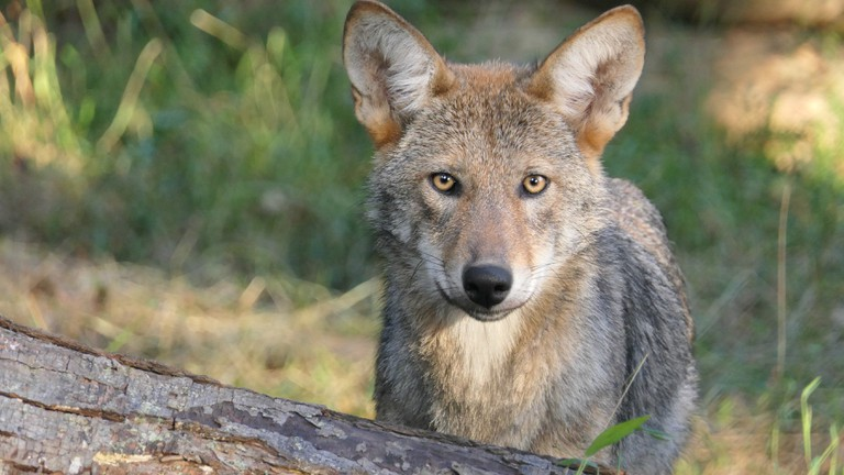Red wolf at the Wolf Conservation Center