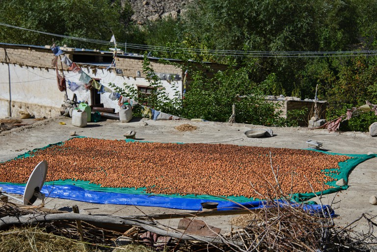 Apricots drying in the Aryan Valley, Ladakh, India