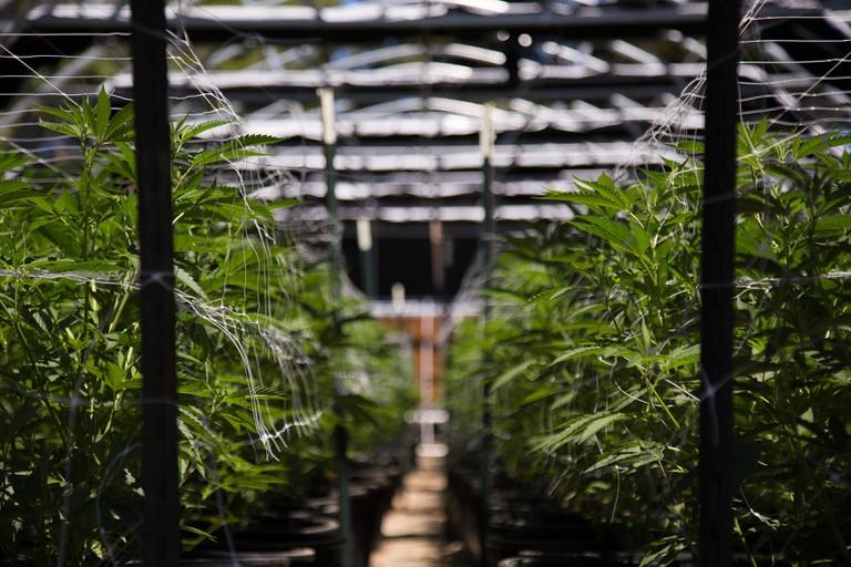 Marijuana greenhouse.
