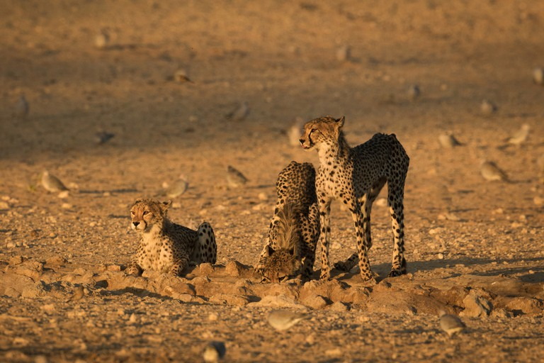 Three cheetahs drinking water at a waterhole, Transfrontier Park, South Africa