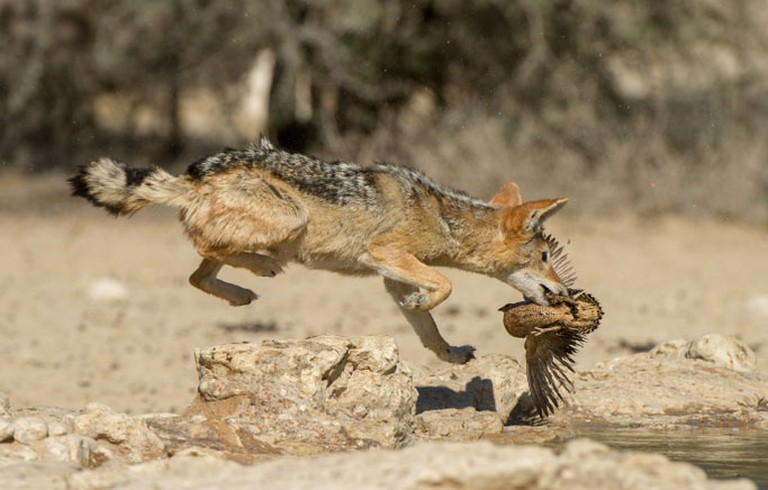 Black-backed jackal, Kgalagadi Transfrontier Park, South Africa