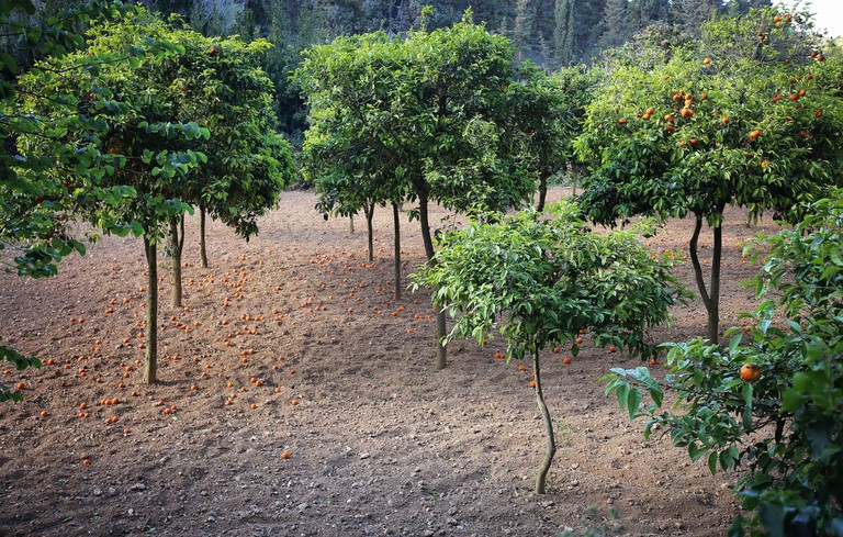 Orange trees in Buskett Garden in Rabat, Malta. The Buskett Gardens forming one of the few woodland areas in Malta, are located in the fertile valley of Wied il-Luq in Siġġiewi.