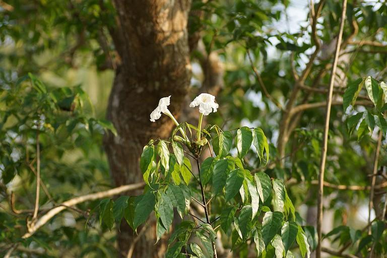 Mangrove Trumpet Tree