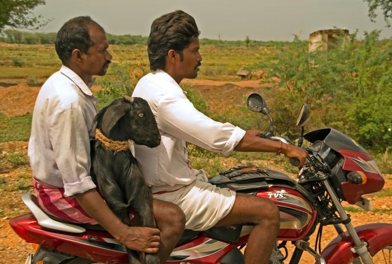 Goat on motorbike in India
