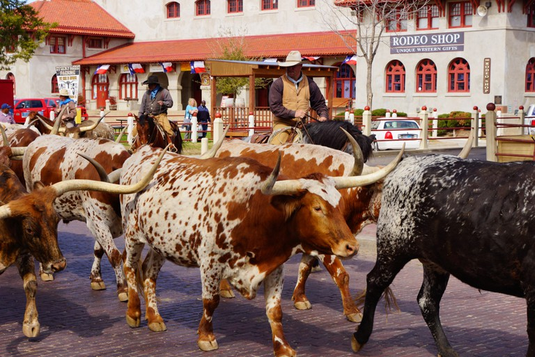 Fort Worth, Texas cattle drive. USA