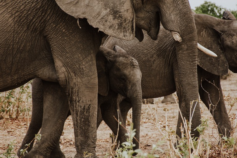 The ears of the African elephant are enormous and help them to stay cool