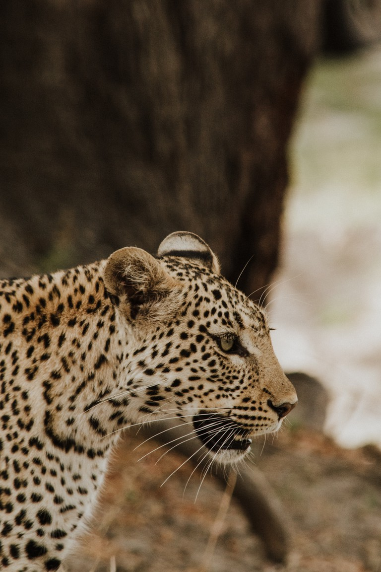 Leopards have long whiskers, which help them move around in the dark