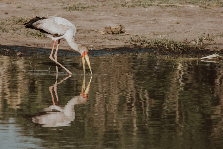 The yellow-billed stork also uses its feet to feed, by disturbing creatures in the mud