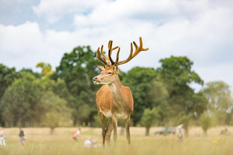 Deer in Richmond Park, London.