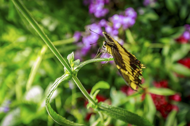 Butterfly observed in the Butterfly Conservatory of American Museum of Natural History.