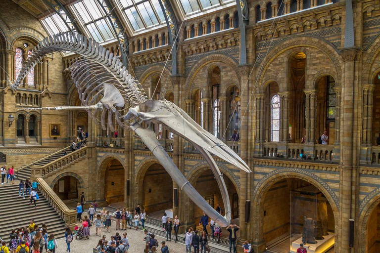 A giant Blue Whale Skeleton suspended from the ceiling in the The Natural History Museum, London.