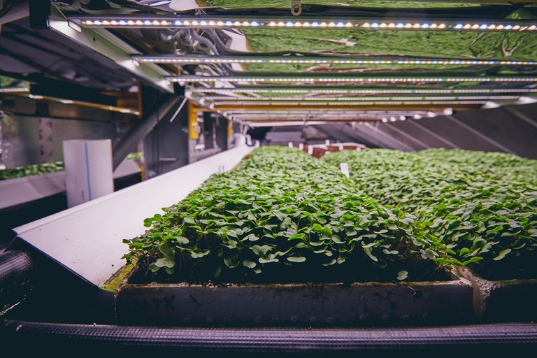 Microgreens are grown on power racks stacked one on top of the other
