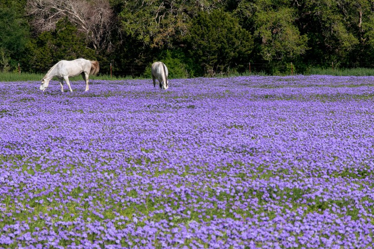 Twin White Horses grazing in a field filled with lavender and purple flowers during springtime in the Texas Hill Country, USA.