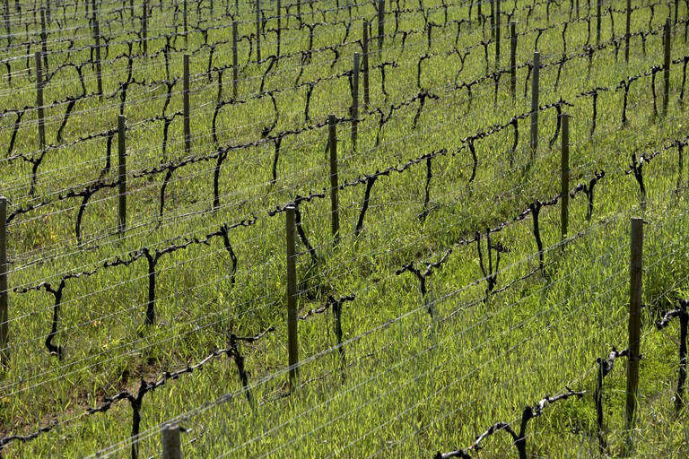 Vineyard conditions in the Western Cape are perfect for growing Pinotage grapes
