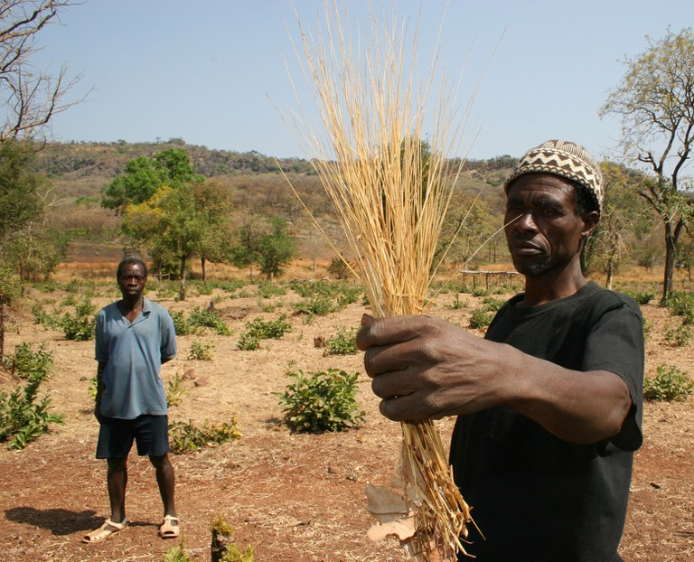 The chief of a Bedik village in southeast Senegal holds up some fonio grains