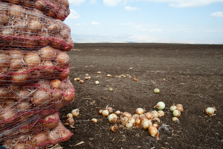 Onions grown on an Israeli Jewish kibbutz communal farm are bagged and stacked for transport