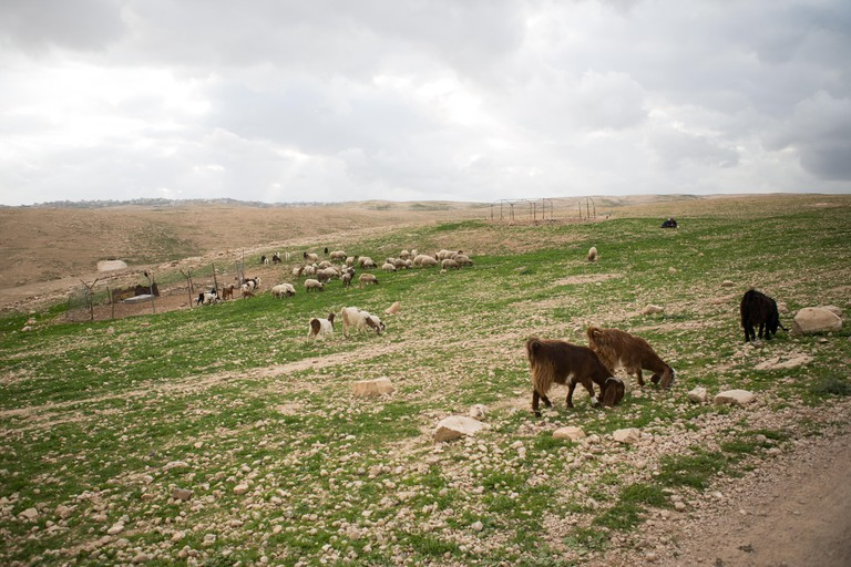 Sheep and goats graze Israel's mountain pastures in spring